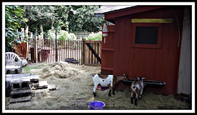 goatsdinner